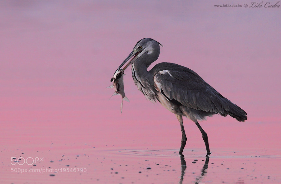 Photograph Grey Heron by Csaba Loki on 500px