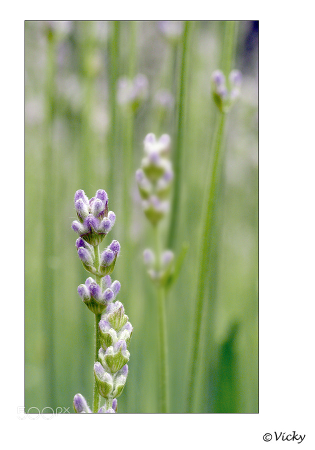Photograph lavender by Vicky Dens on 500px