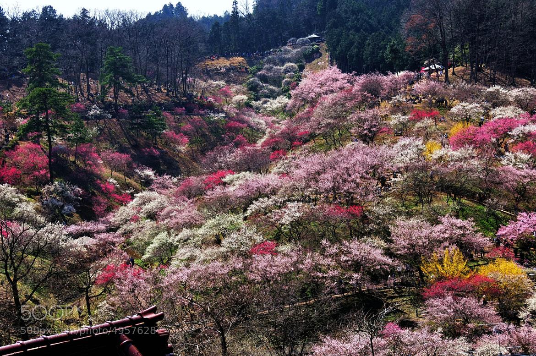 Photograph ★ Dream's Plum garden -1 by KEN OHSAWA on 500px