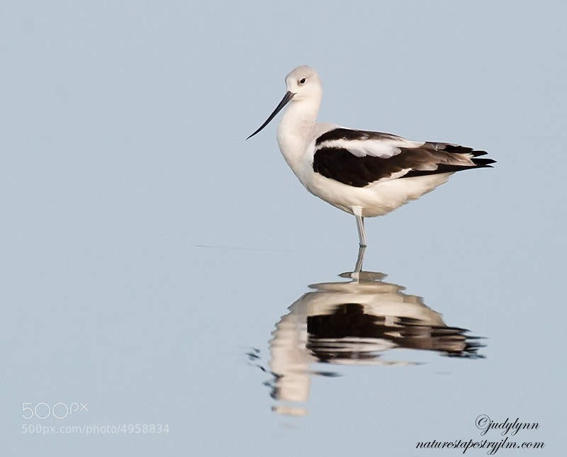 The pose of this beautiful avocet made me think of the caption.  It appears so proud and so pretty.  They come down for a short time in the winter months to Florida and then leave.  This is the first time I have had the opportunity to photograph them as they are usually to far out in the water .  This year the water level was lower making it possible to capture them close to shore.