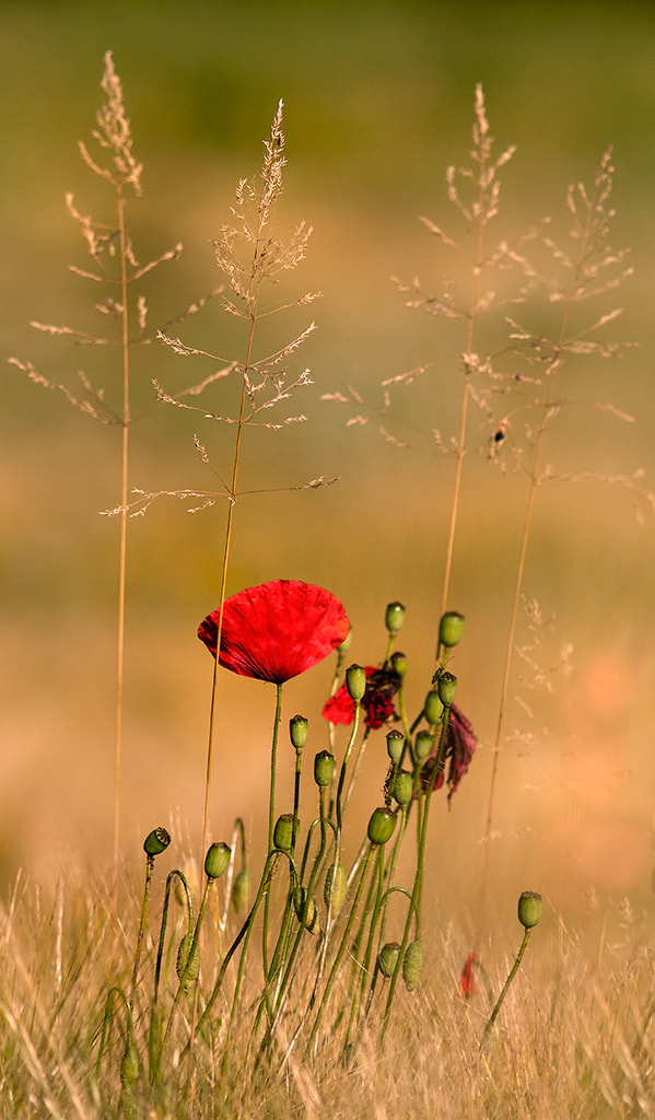 Photograph Red on gold by giorgio fattori on 500px