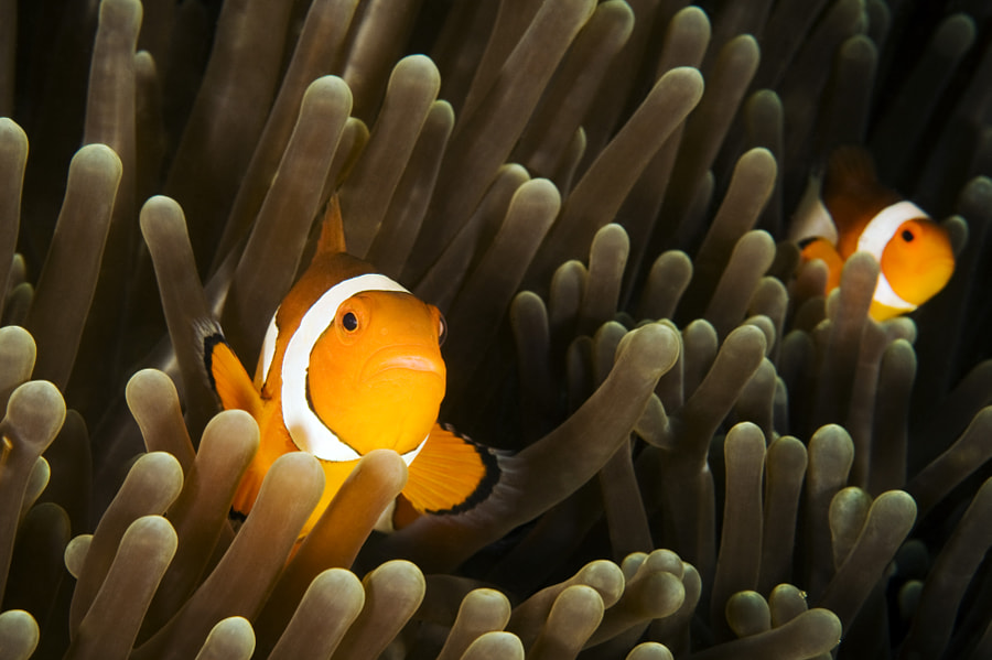 Glowing Anemone Fish
