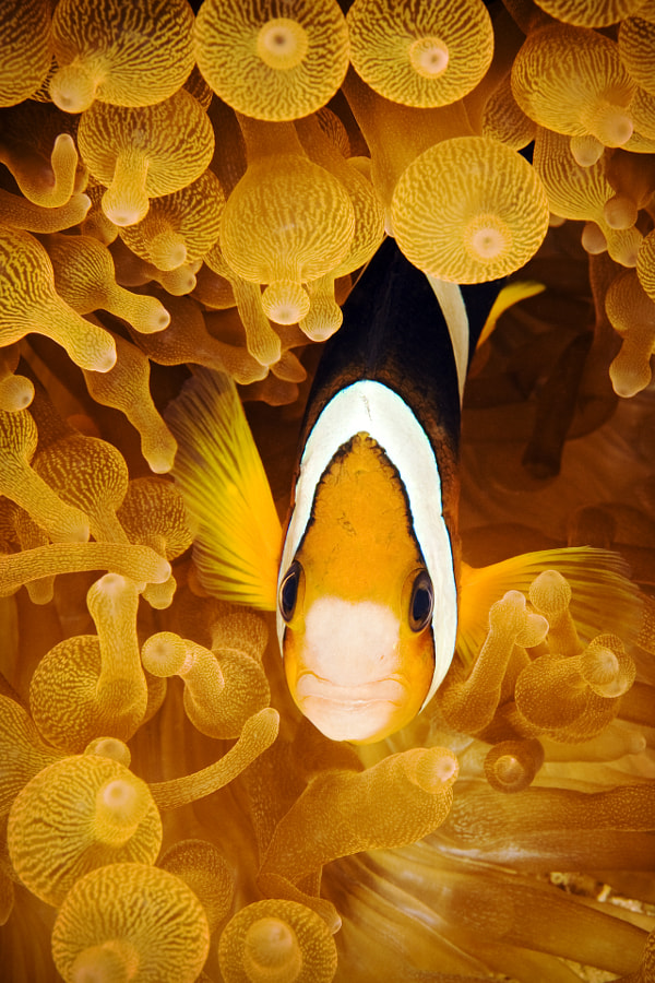 Happy Anemone Fish