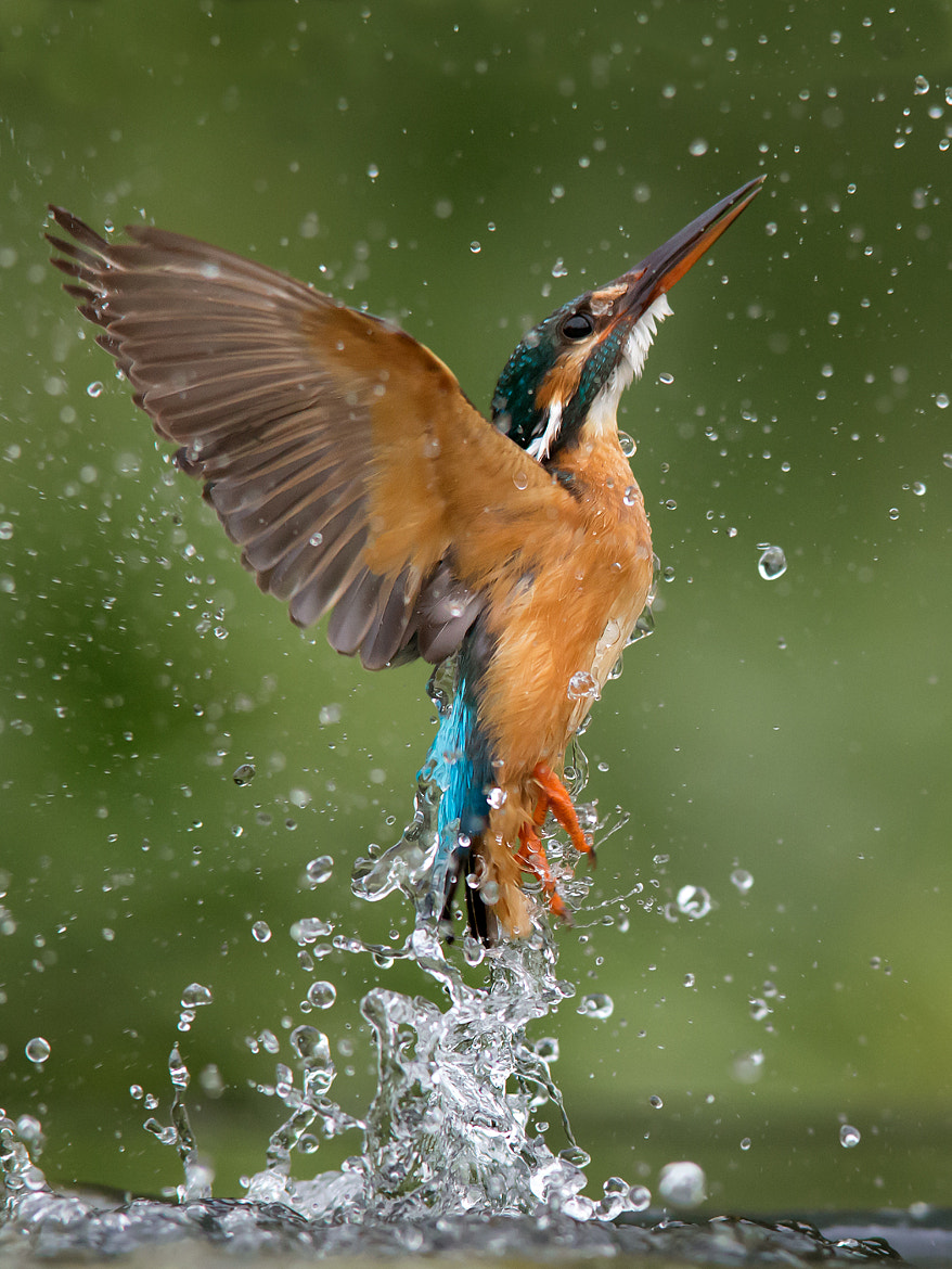 Photograph Common Kingfisher by Jamie MacArthur on 500px