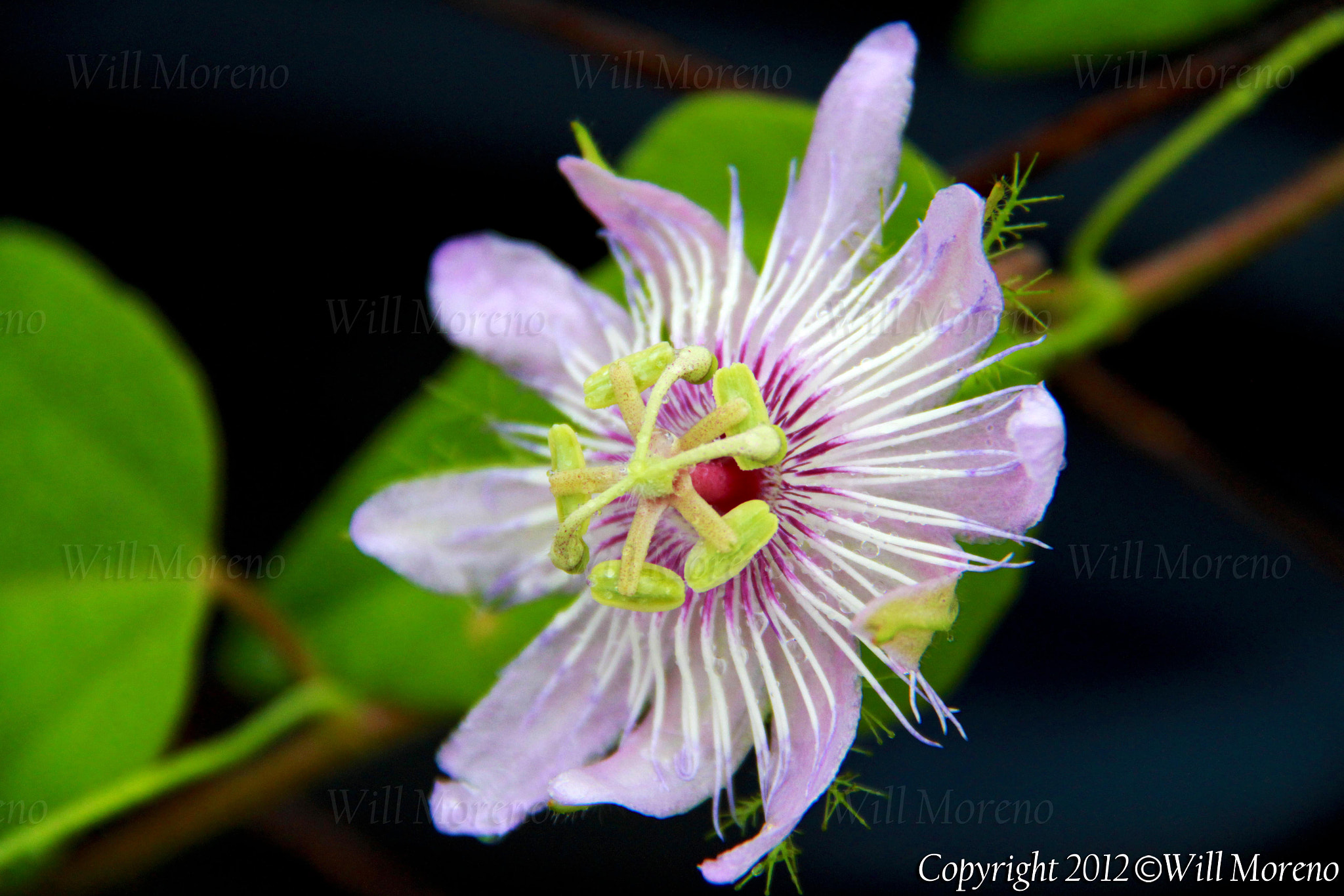 Photograph Passion Fruit Flower by Will Moreno on 500px