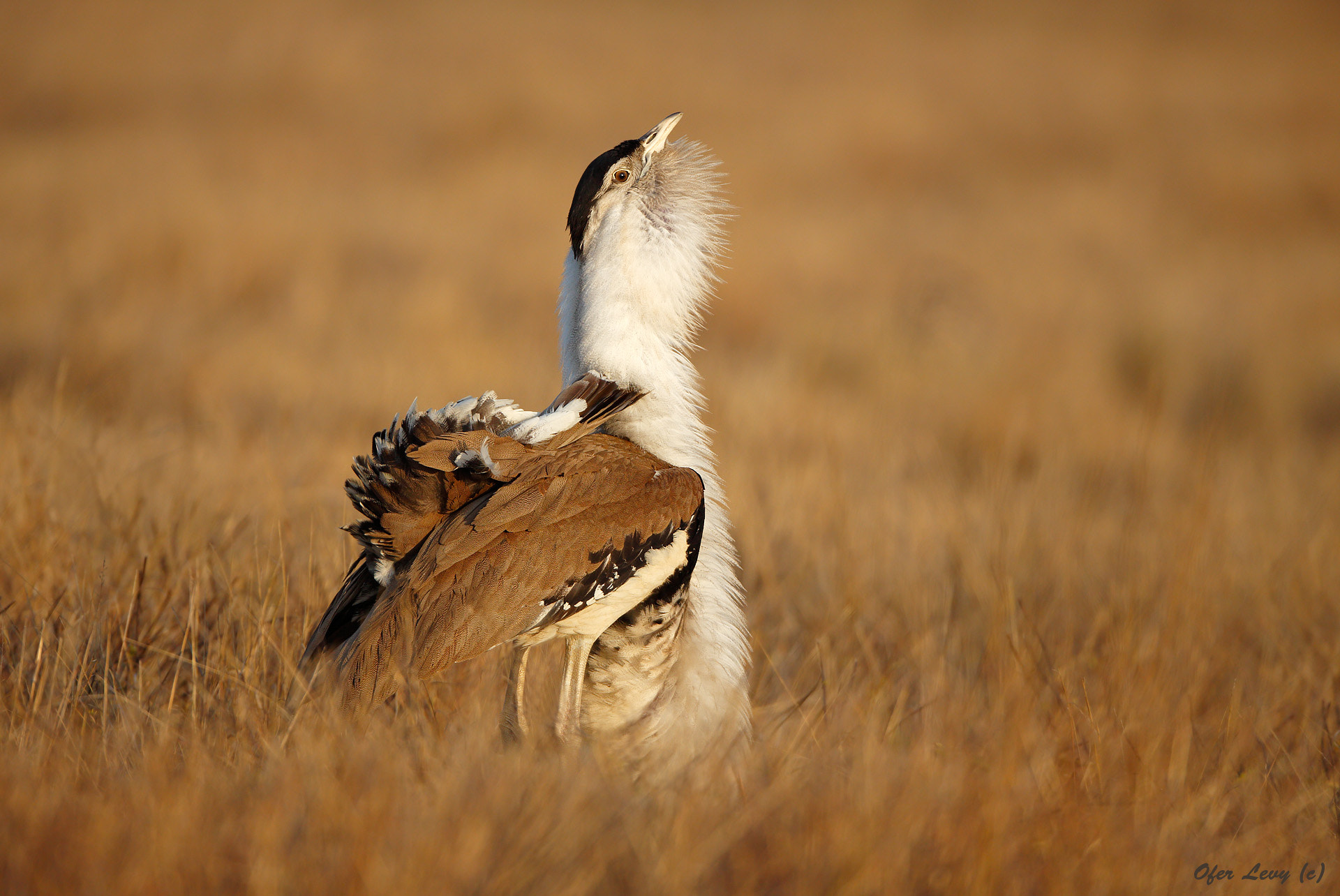 Photograph Australian Bustard - male displaying by Ofer Levy on 500px