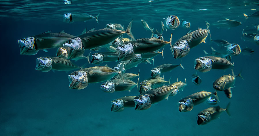 Photograph mackerel by Sergey Militsky on 500px