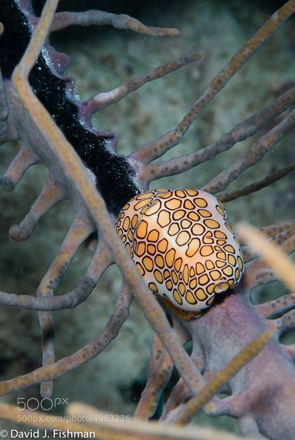 Photograph Flamingo Tongue  by david j fishman on 500px