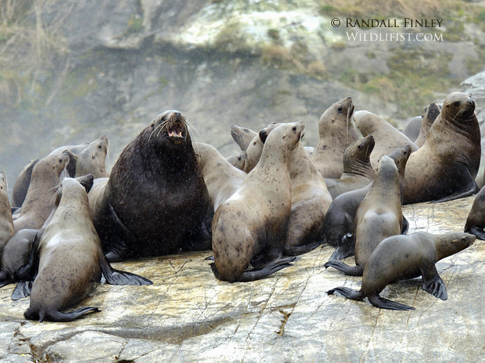 Photograph Steller Sea Lions by Randall Finley on 500px