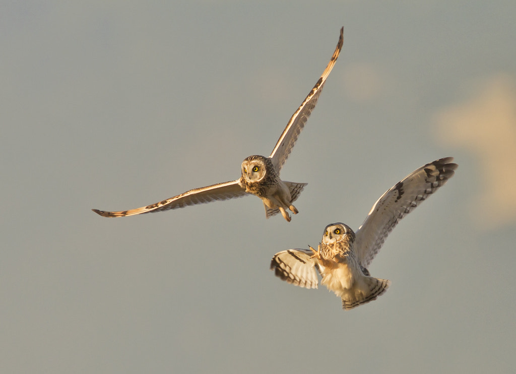 Photograph Short Earred Owls Skirmish by Duke Coonrad on 500px