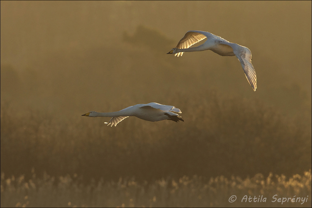 Photograph Whooper Swan by Attila Seprenyi on 500px