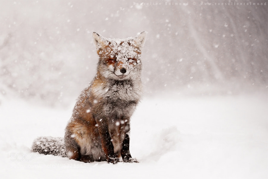 Photograph Fairytale Fox by Roeselien Raimond on 500px
