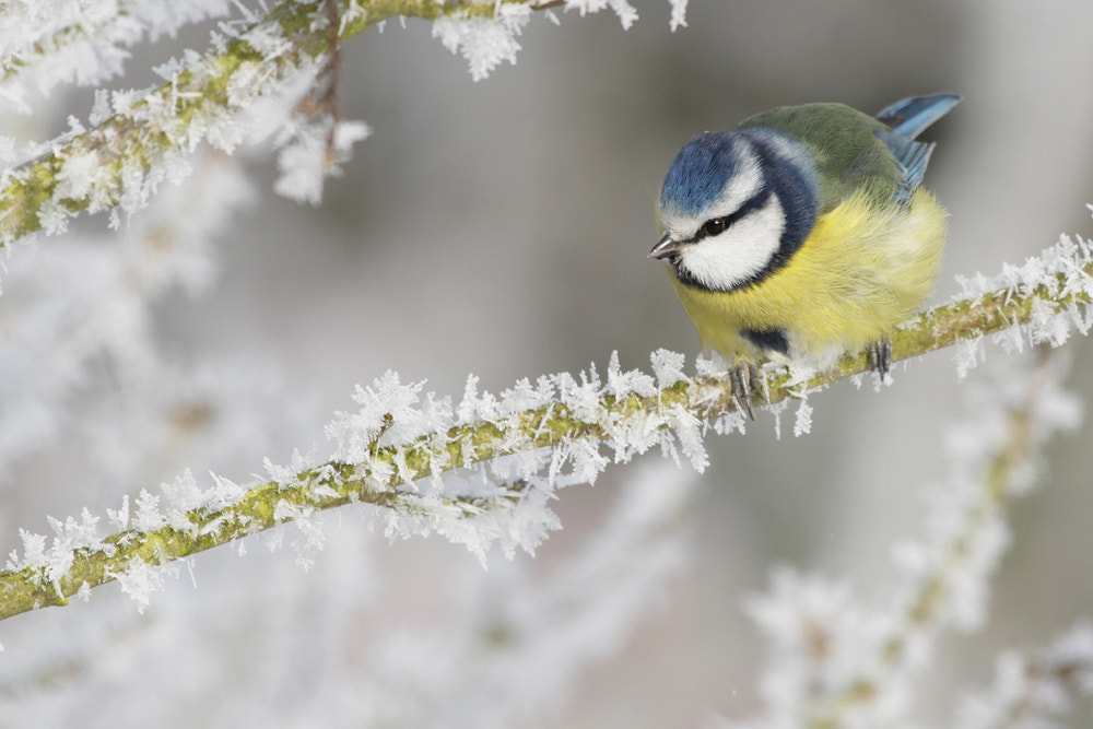 Photograph Blue Tit in the frost by Neil Smith on 500px