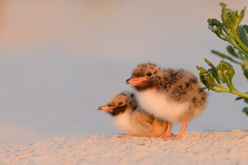 Photograph Common terns by Lise De Serres on 500px