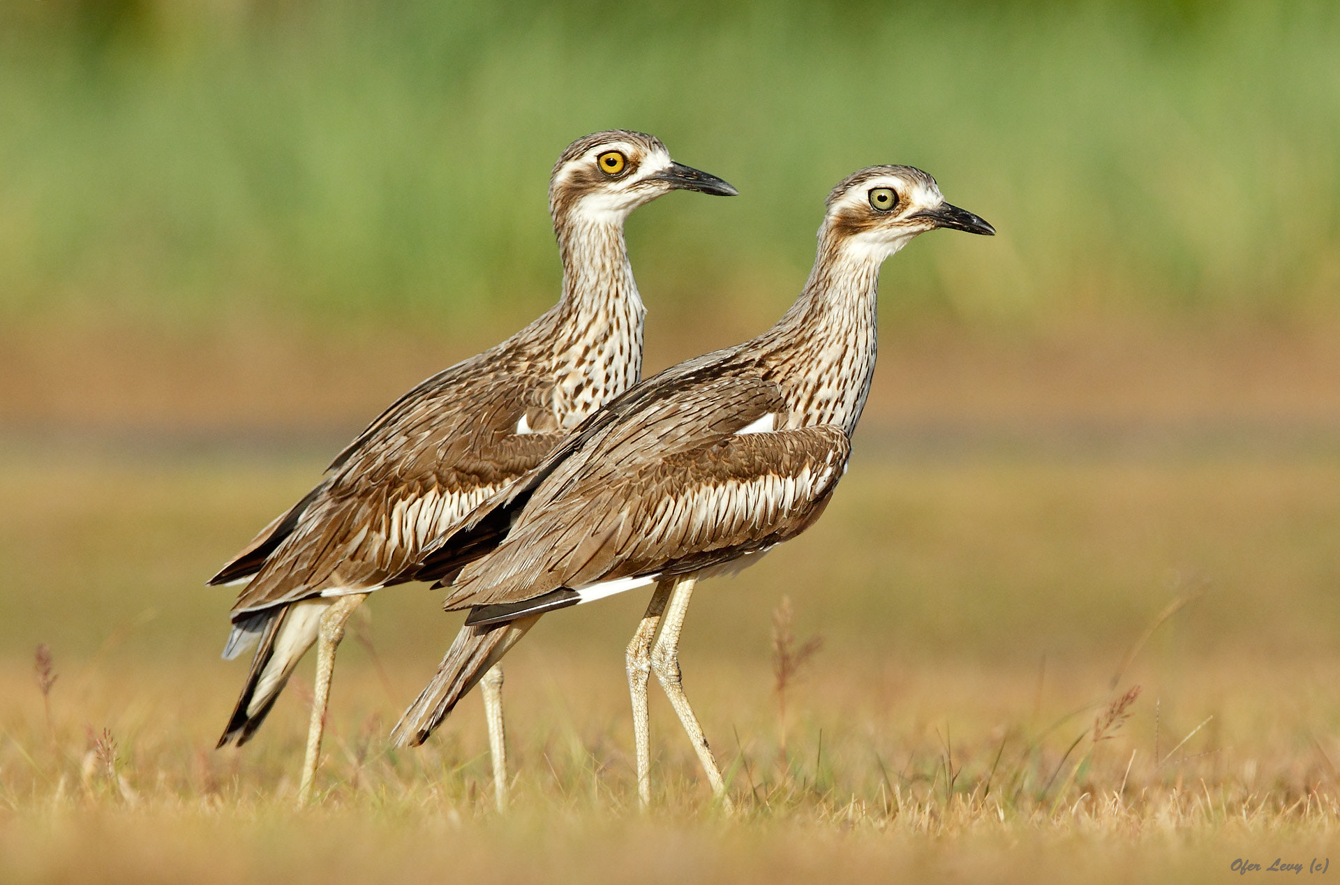 Photograph Bush Stone Curlew - pair by Ofer Levy on 500px