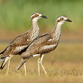 Bush Stone Curlew - pair by Ofer Levy on 500px.com