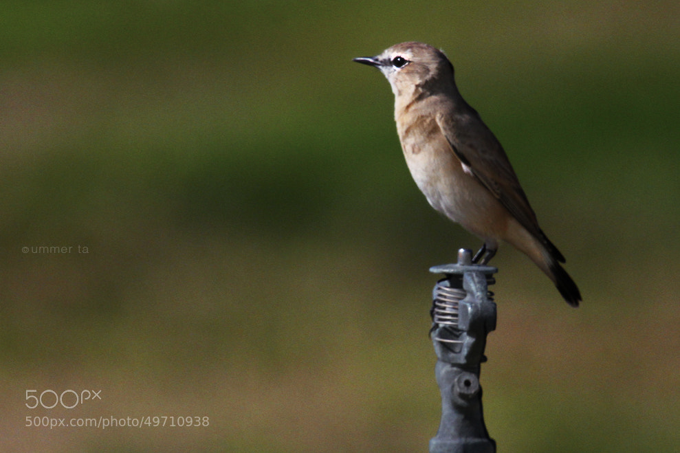Photograph Red-tailed Wheatear by Artist Ummer Ta  on 500px