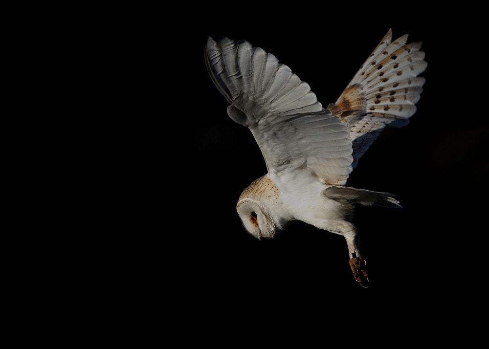 Photograph Barn Owl ( as always wild ) by Karen Summers on 500px