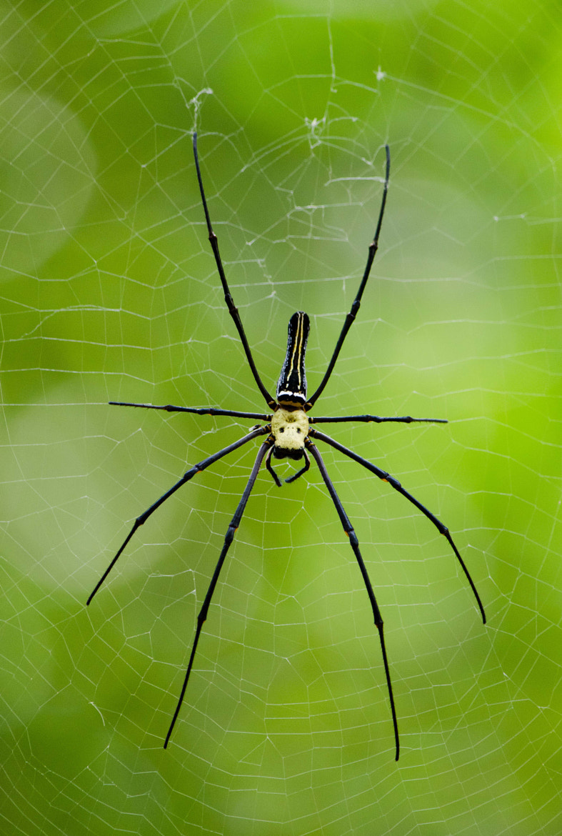Photograph Golden silk orb-weaver by Subhash Radhakrishnan on 500px