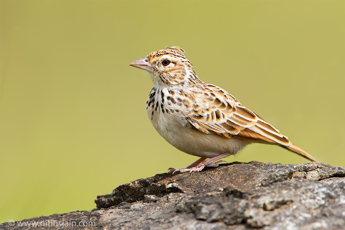 Photograph Lark by nitin jain on 500px