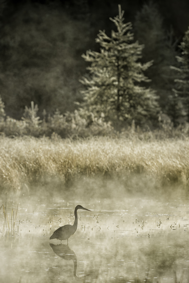 Photograph Heron in the Mist by Daniel Parent on 500px