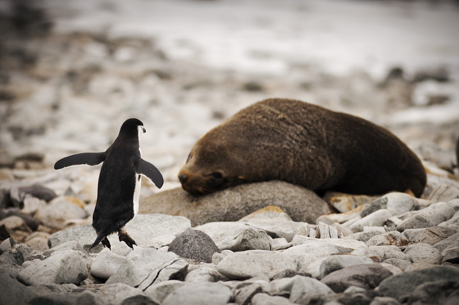 Penguin vs. Fur Seal