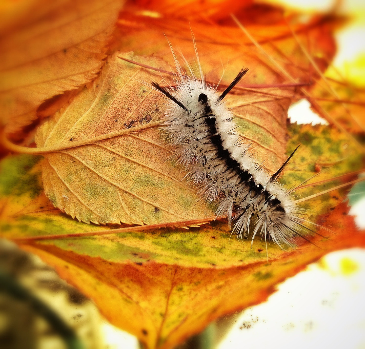 Photograph Hickory Tussock Caterpiller by Michael Pecora on 500px