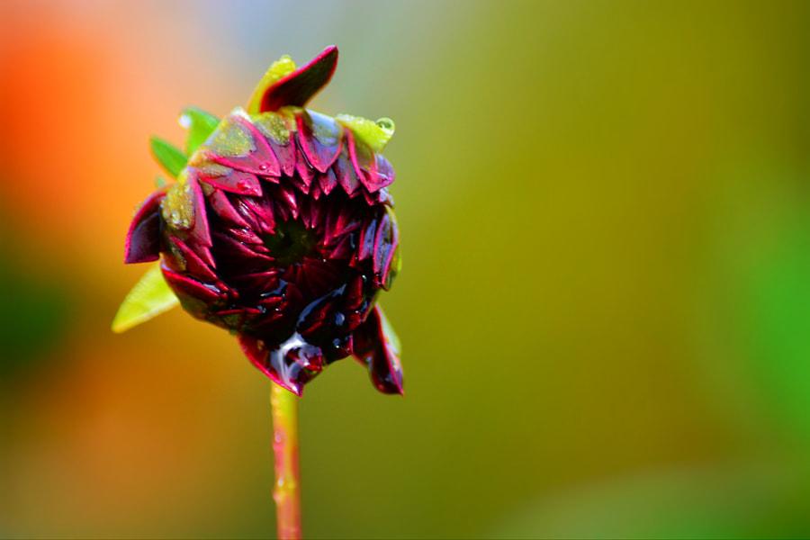 Dahlia bud