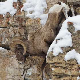 Bighorn Sheep, YNP by Charles Glatzer (Chas)) on 500px.com