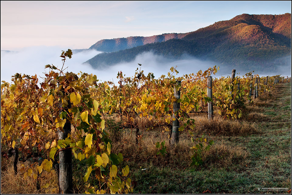 Photograph Vineyards in autumn by Francesco Cosi on 500px