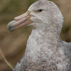 Постер, плакат: Southern Giant Petrel on its nest