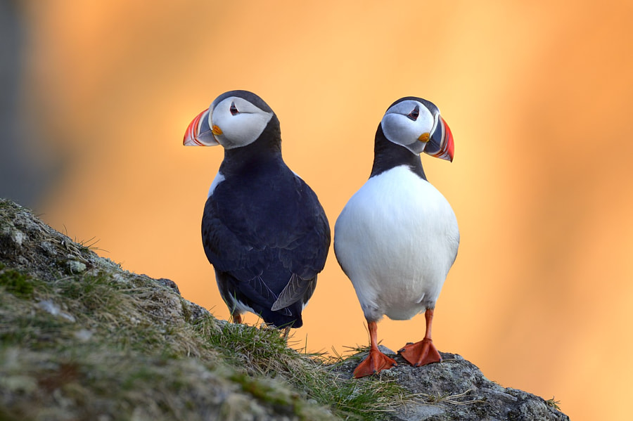 Photograph Midnight Sun Puffins by Olav  Thokle on 500px