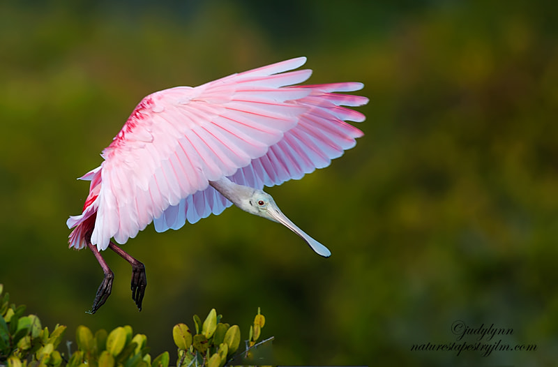 This is an image of the roseate spoonbill just coming in for a landing early one morning.  They are quite a large bird but still very gracefull and amazing to watch.
