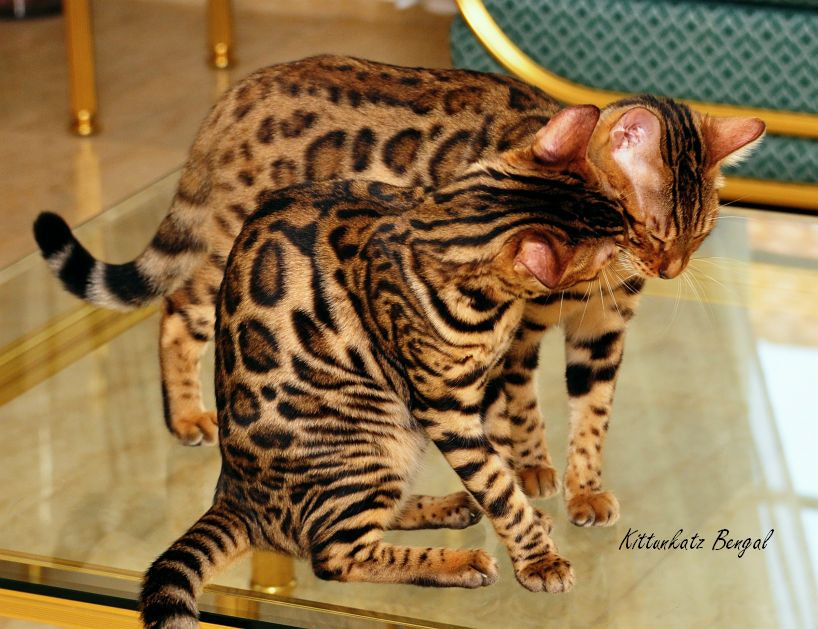 Photograph I love you ! by Kittunkatz Bengals on 500px