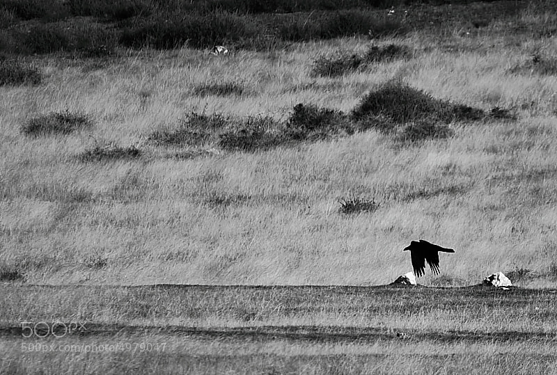 Photograph The crow by miguel gonzález on 500px