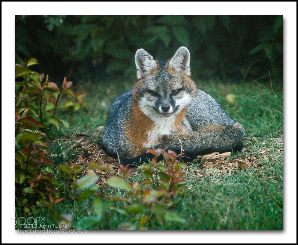 Photograph Backyard Fox by John Tucker on 500px