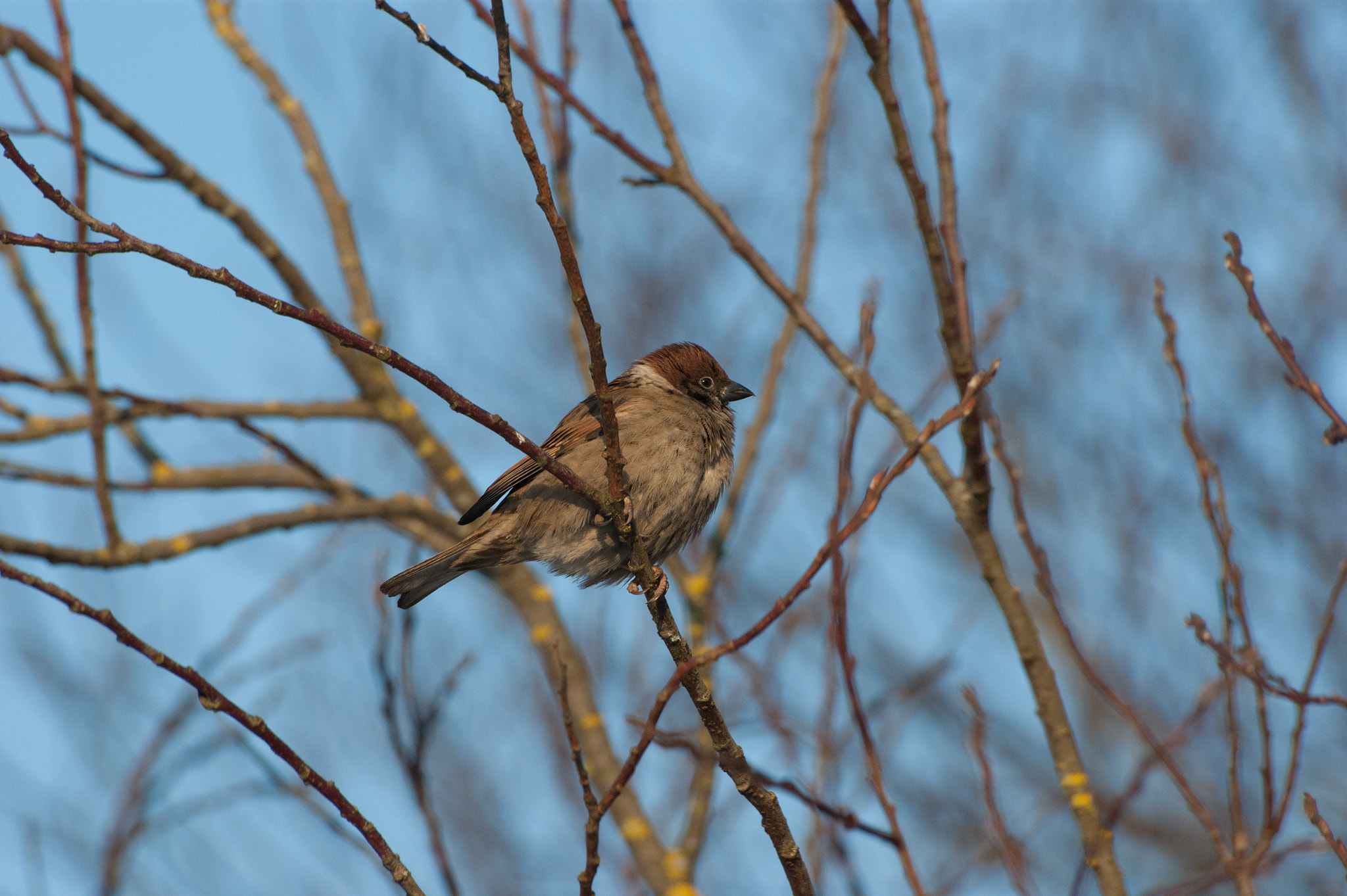 Photograph Sparrow on a branch by Sergey Suhanov on 500px