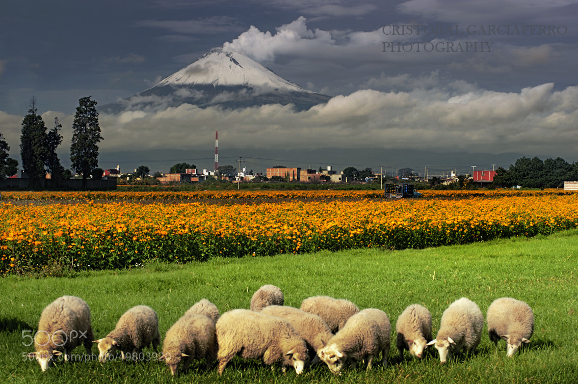 Photograph Sheep, flowers and volcano by Cristobal Garciaferro Rubio on 500px