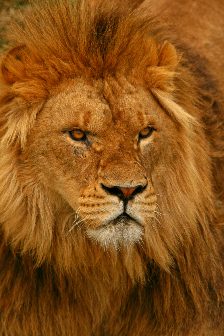 Photograph Lion by Jacqueline Bamber on 500px