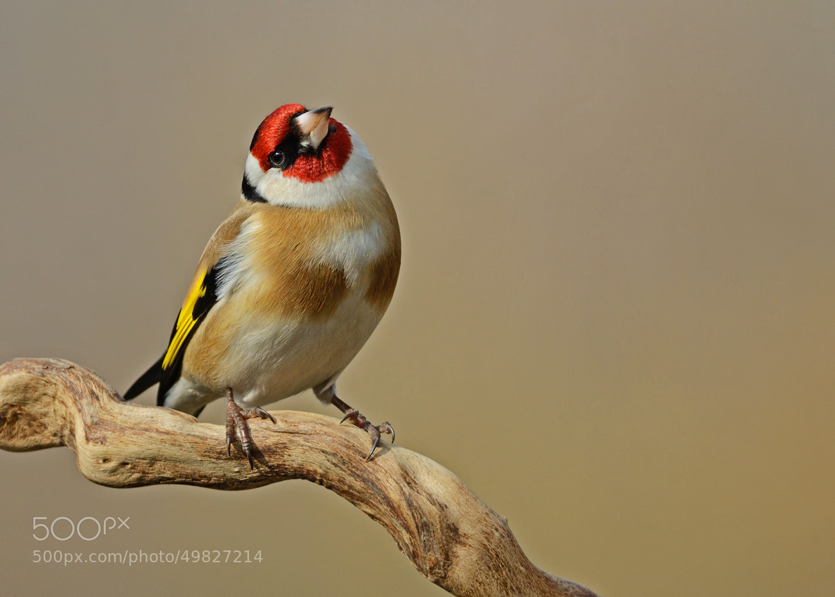 Photograph Carduelis carduelis by info1637 on 500px