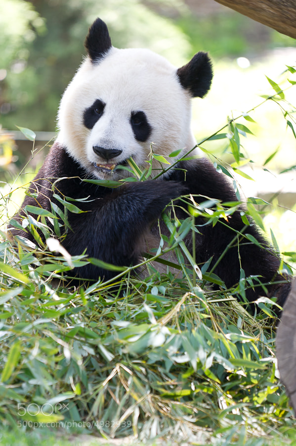 Photograph Oso Panda by Goyo  Conde on 500px