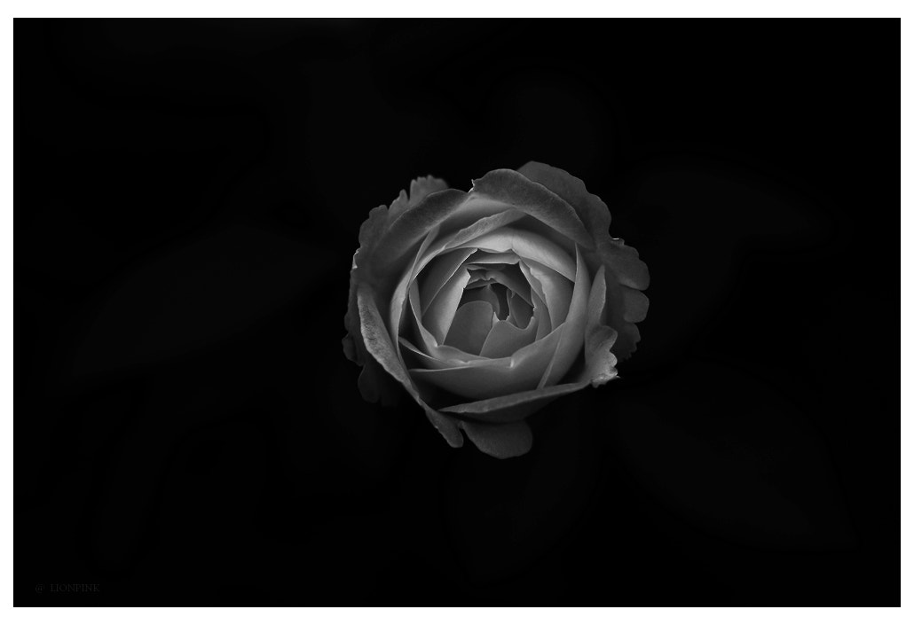 Photograph My rose 14/02/2012 by lionpink on 500px
