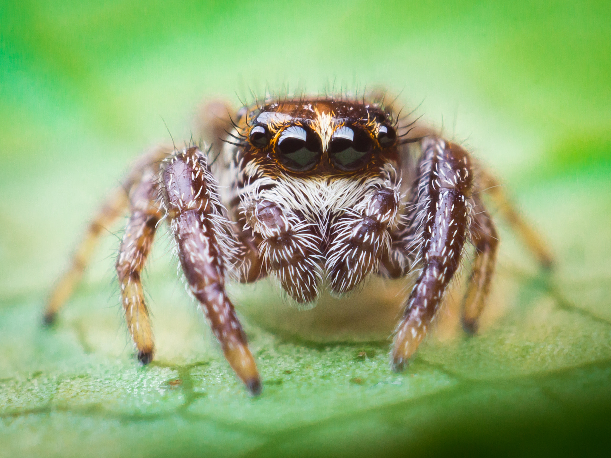 Photograph jumping spider by Alexander Rauch on 500px