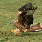 Red Kite final part swooping for carian