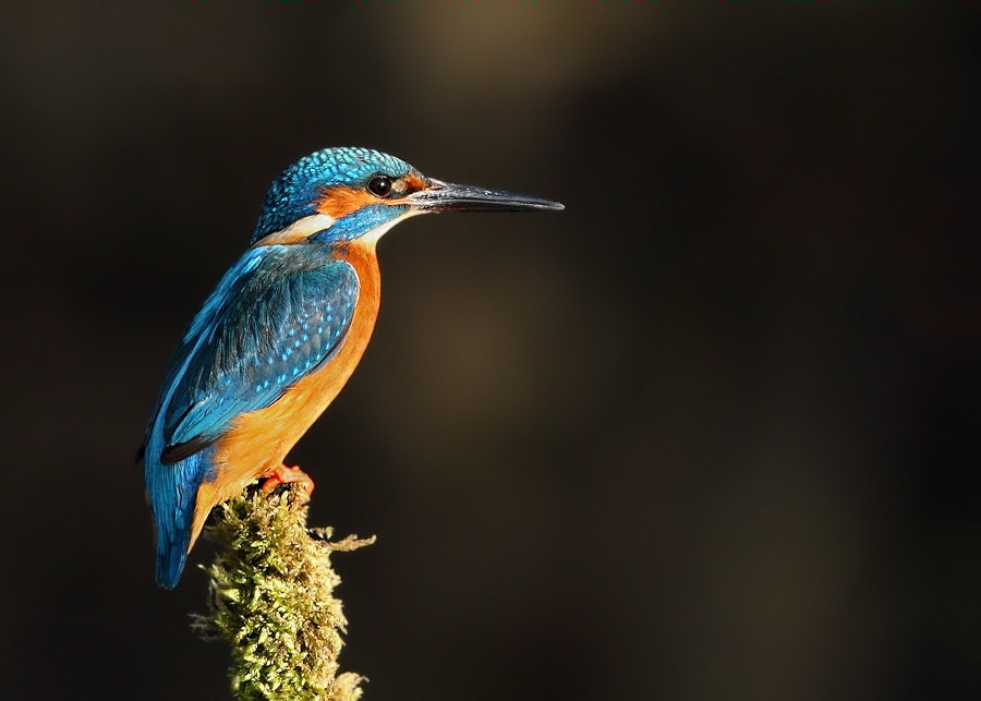 Photograph Male Kingfisher by Karen Summers on 500px