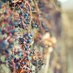 Berries by Roland Pernter on 500px.com