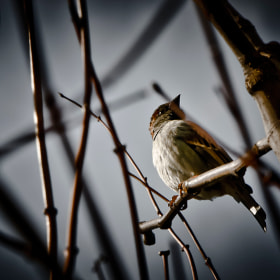 alone sparrow by Atakan Engin (atakanengin)) on 500px.com
