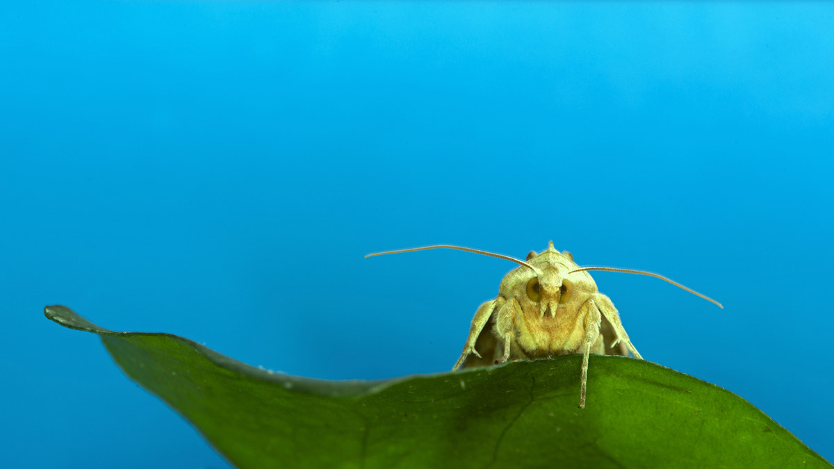 Photograph Angry moth.. by Cassius Photography on 500px
