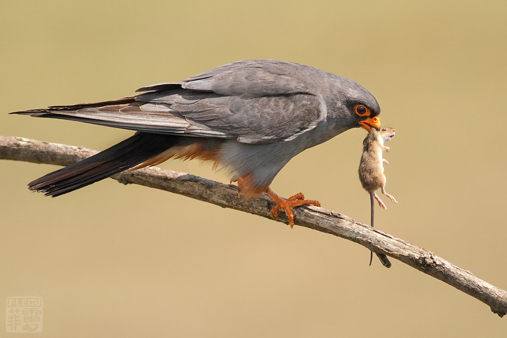 Photograph Red-footed Falcon  by Peter Flego on 500px