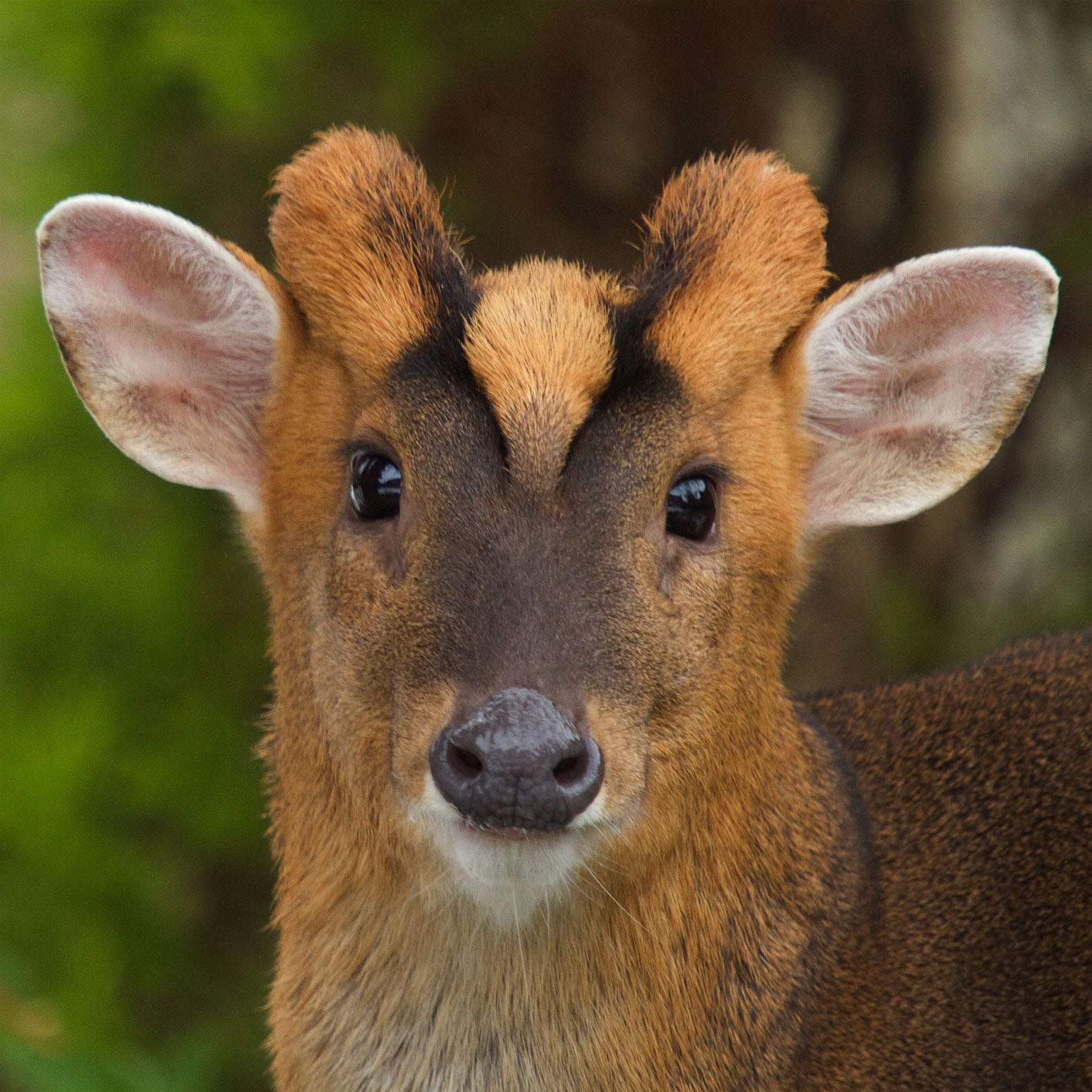 Photograph Muntjac by Squirrelnutkins on 500px